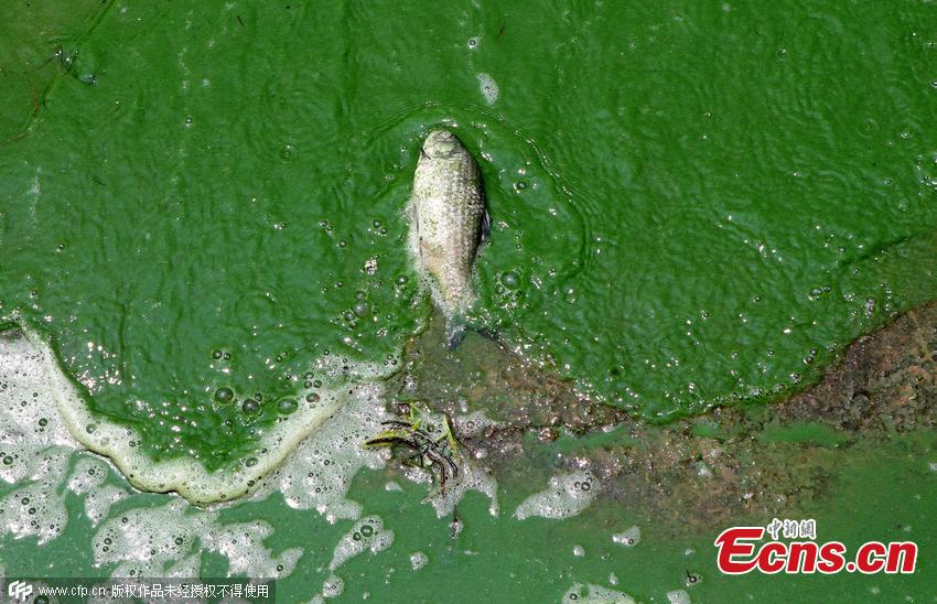 Algae bloom causes fish die off in kunming 1 3 for Algae bloom in fish tank