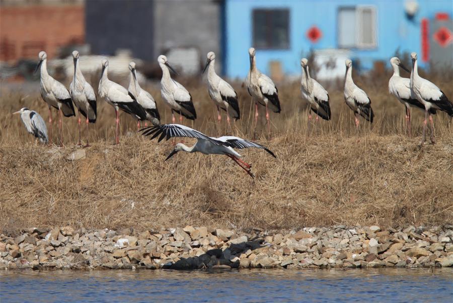Oriental Storks Look For Food At Zhangjiacun Wetland In