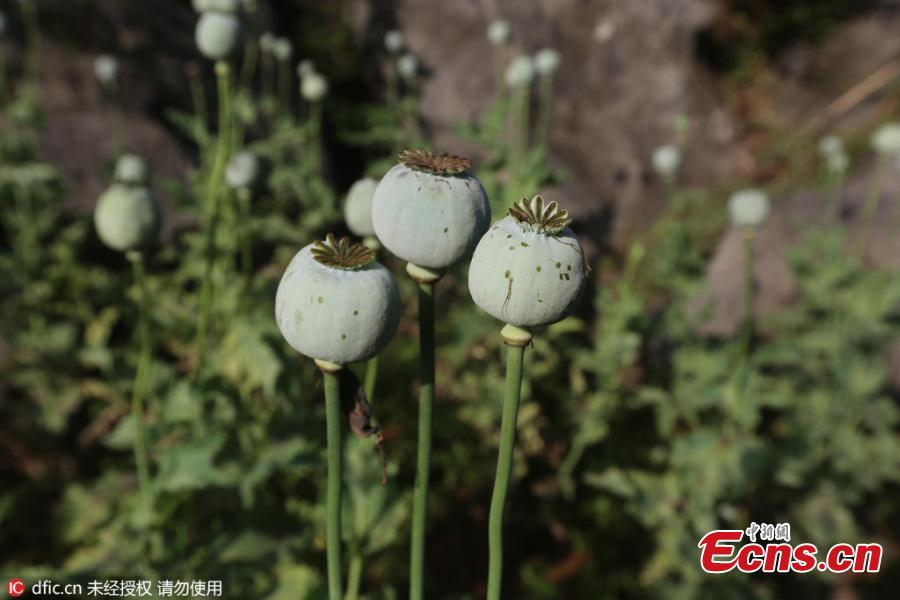 china tries to solve growing opium problem Opium trade, in chinese history, the traffic that developed in the 18th and 19th centuries in which western countries, mostly great britain, exported opium grown in india and sold it to china the british used the profits from the sale of opium to purchase such chinese luxury goods as porcelain.
