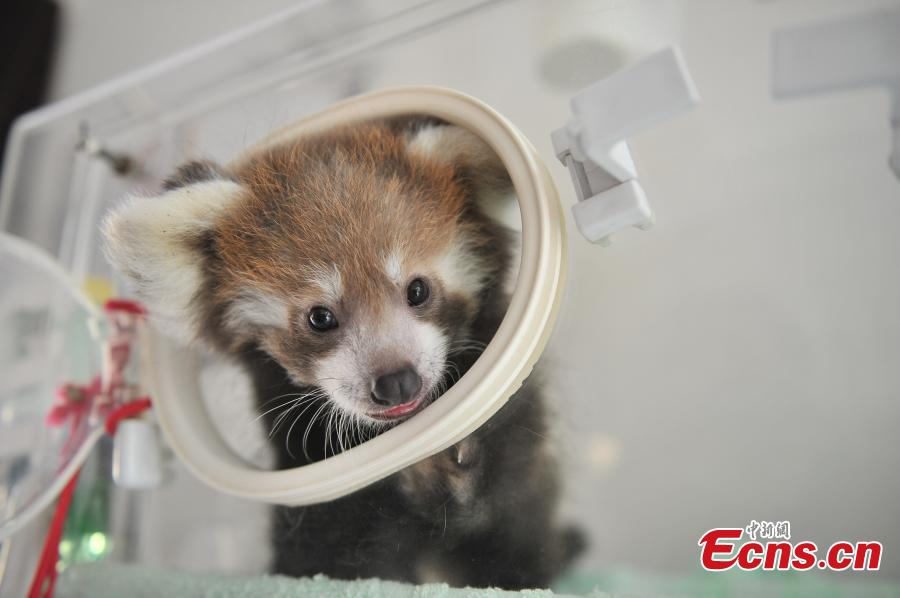 A red panda stays in an incubator at a zoo in Kunming City, the capital of Southwest China's Yunnan Province, Aug. 30, 2016. The zoo has successfully bred a red panda, a second degree animal under state protection in China, in captivity. (Photo: China News Service/Liu Ranyang)