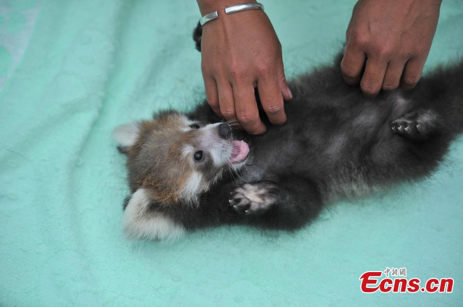 A keeper looks after a red panda cub at a zoo in Kunming City, the capital of Southwest China's Yunnan Province, Aug. 30, 2016. The zoo has successfully bred a red panda, a second degree animal under state protection in China, in captivity. (Photo: China News Servic