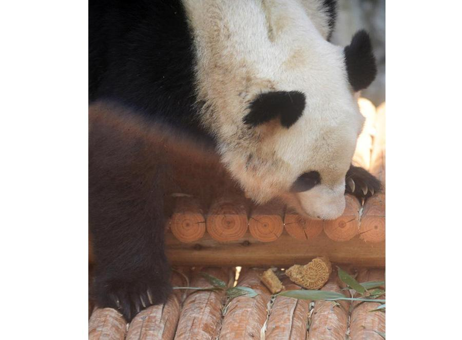 A panda enjoys tailor-made moon cakes with bamboo leaves stuffing in Zhuyuwan zoo in Yangzhou city, East China\'s Jiangsu province, on September 13, 2016. Moon cakes are a special traditional delicacy that Chinese eat on the annual mid-Autumn festival, which falls on September 15 this year. (Photo/Xinhua)