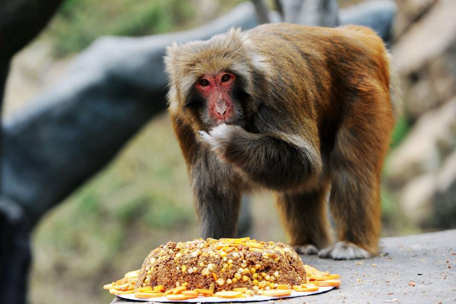 A monkey enjoys tailor-made moon cakes with stuffing mixed with raisin, dates and carrots in Qingdao Forest Wildlife Zoon, East China\'s Shandong province on September 13, 2016. Moon cakes are a special traditional delicacy that Chinese eat on the annual mid-Autumn festival, which falls on September 15 this year. (Photo/Xinhua)