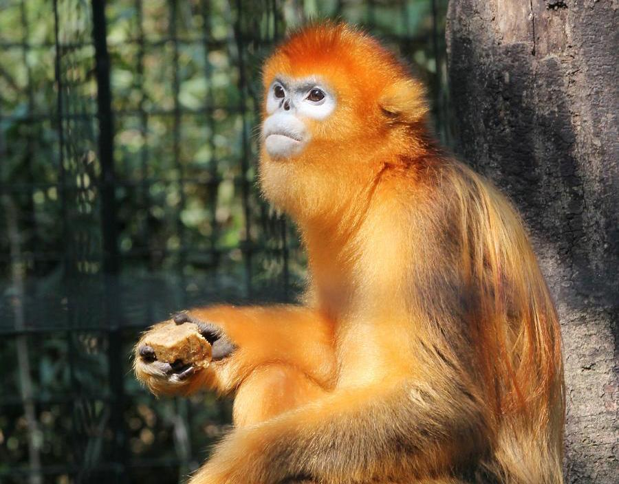 A golden monkey enjoys tailor-made moon cakes with banana stuffing in Zhuyuwan zoo in Yangzhou city, East China\'s Jiangsu province, on September 13, 2016. Moon cakes are a special traditional delicacy that Chinese eat on the annual mid-Autumn festival, which falls on September 15 this year. (Photo/Xinhua)