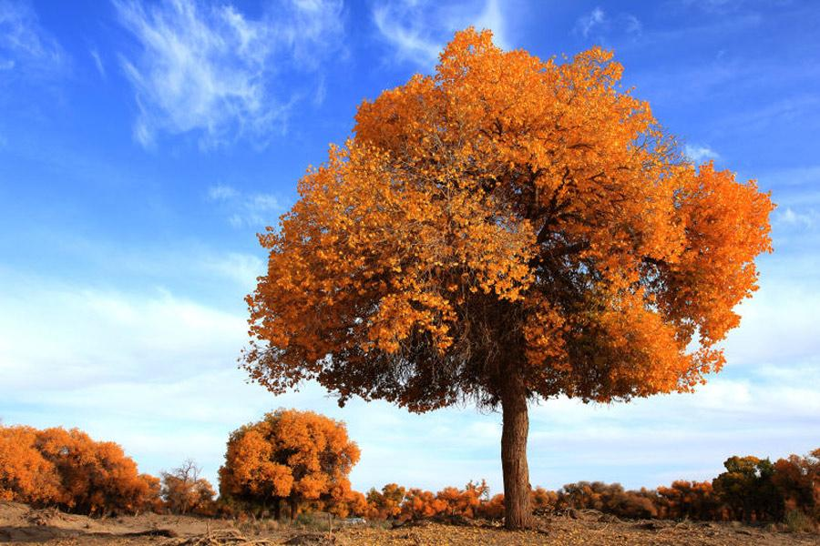 Scenery Of Populus Euphratica Forest In Inner Mongolia 4 7