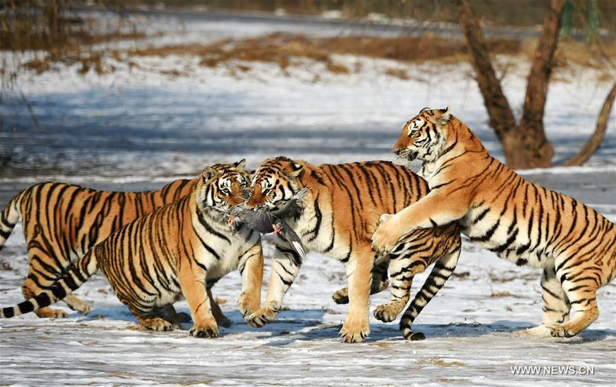 Image Result For Are There Wild Tigers In Koreaa