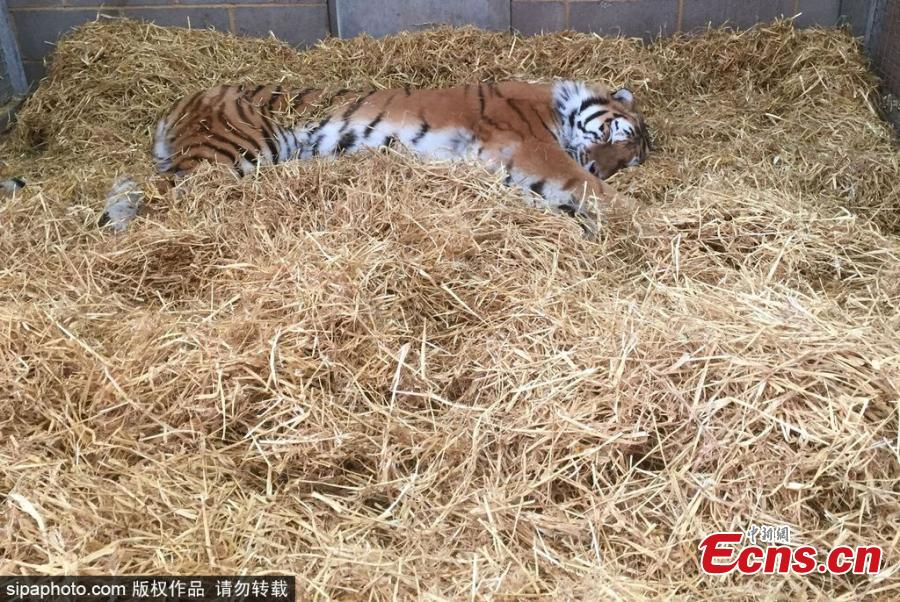 Elton, a critically endangered Amur tiger at Woburn Safari Park in Bedfordshire, sleeps off the operation to repair the cracked canine tooth for a full 24 hours. If left untreated, an infected tooth could be fatal for a tiger in the wild. The tricky procedure was caught on camera and posted online. (Photo/Agencies)