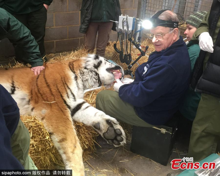 Dr Peter Kertesz takes on the challenge of repairing the cracked canine tooth of Elton, a critically endangered Amur tiger at Woburn Safari Park in Bedfordshire after it became infected. If left untreated, an infected tooth could be fatal for a tiger in the wild. The tricky procedure was caught on camera and posted online. (Photo/Agencies)