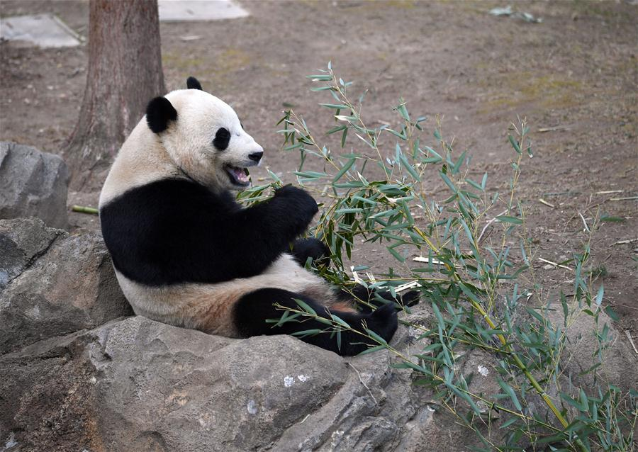 the characteristics of the giant panda a chinese bear species This species has several special characteristics related to giant panda population is closely there is an ancient chinese story about how giant pandas got.