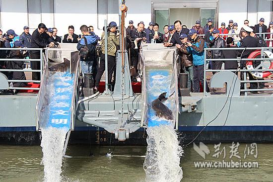 Artificially-bred Chinese sturgeons are released into the Yangtze River in Wuhan City, capital of Central China\'s Hubei Province, March 2, 2017. For the first time, Wuhan set free more than 1,000 Chinese sturgeons in the river, with the biggest measuring 1.2 meters long and weighing 100 kilograms. The release will help boost fish stocks in the Yangtze, China\'s longest river. A species 140 million years old, the Chinese sturgeon is the oldest kind of fish in the Yangtze and one of the oldest vertebrates in the world. Nicknamed \