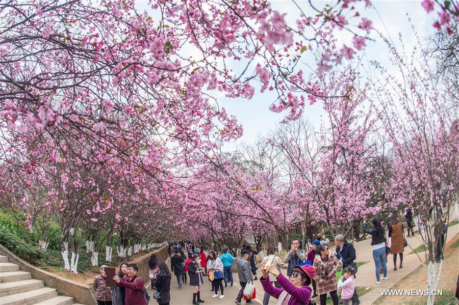 people enjoy cherry blossoms in china s kunming 1 8