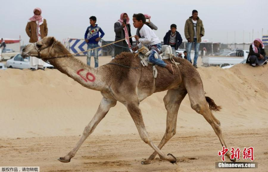The child jockeys of camel racing in Egypt (4/5)