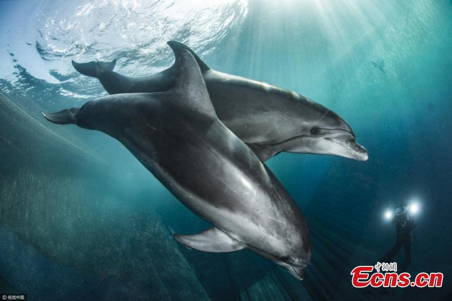 Dolphins have a lucky escape from net(1/3) - Headlines, features
