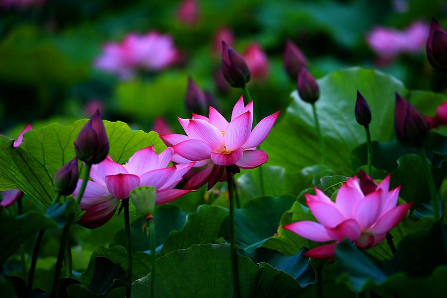 Lotus flower in full bloom in huangshan city anhui province15 lotus flowers blossom at the geshan park in huangshan city anhui province on june 11 as summer proceeds the color of the flower will look even brighter mightylinksfo