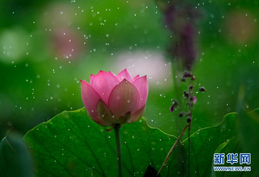 Picturesque lotus flowers bloom in shenzhen park27 headlines a lotus flower is blooming at honghu park in shenzhen guangdong province photoxinhua mightylinksfo