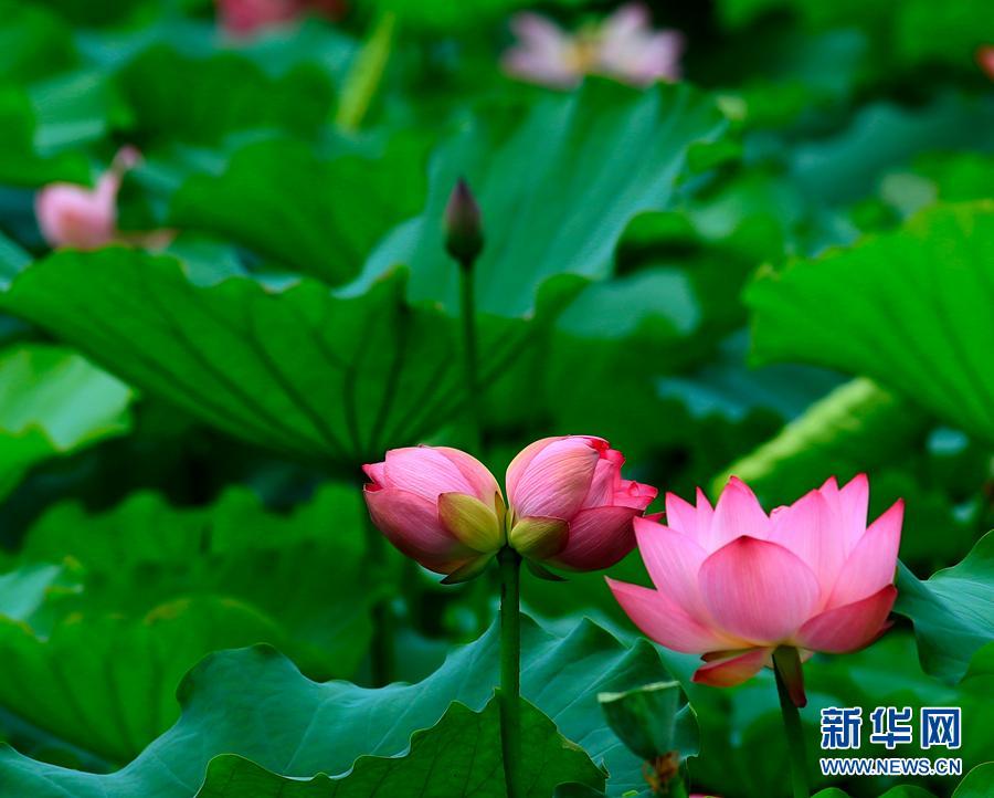 Picturesque lotus flowers bloom in shenzhen park headlines picturesque lotus flowers bloom in shenzhen park mightylinksfo