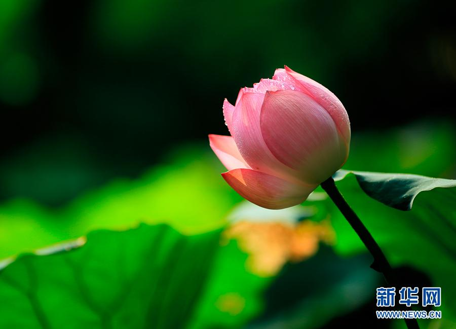 Picturesque lotus flowers bloom in shenzhen park47 headlines a lotus flower is blooming at honghu park in shenzhen guangdong province photoxinhua mightylinksfo