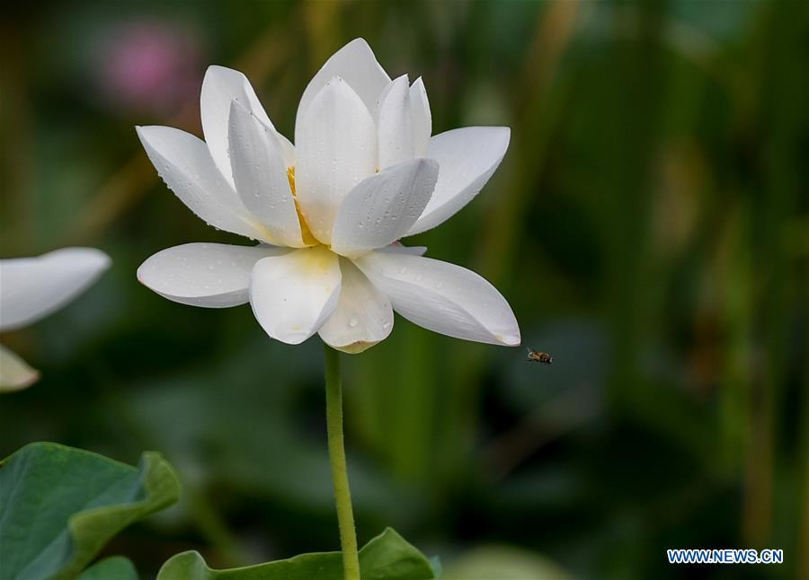 Lotus flowers blossom across china48 headlines features photo a lotus flower is seen in a park in tianjin north china july 3 2017 xinhuazhang chaoqun mightylinksfo