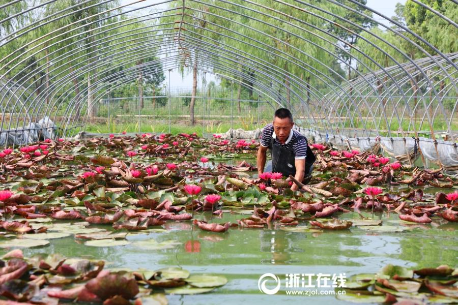 Ornamental Lotus Flowers Grow Farmers Earnings 20 Times56