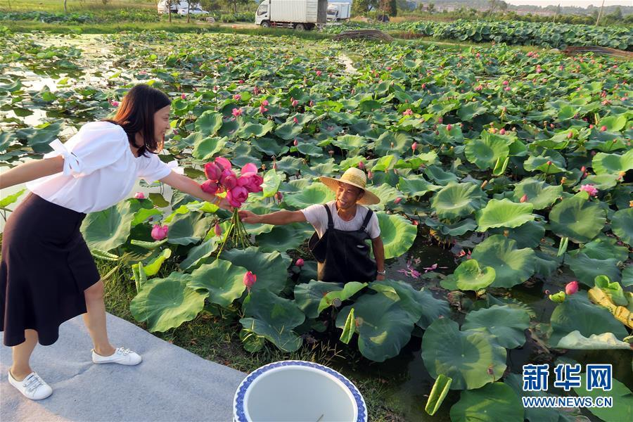 Ornamental Lotus Flowers Grow Farmers Earnings 20 Times26