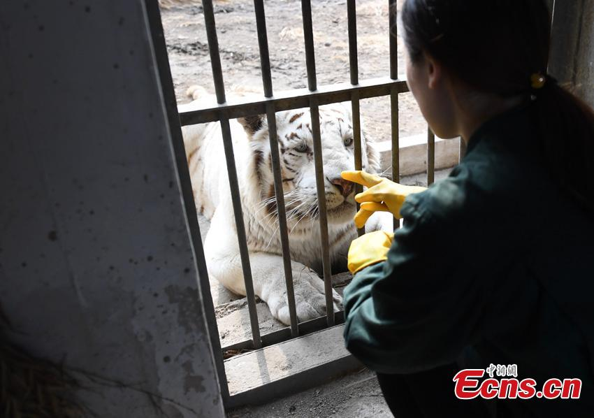 Keeper Li Yimeng observes a tiger at the Changchun Zoo and Botanical Garden in Changchun City, the capital of Northeast China\'s Jilin Province. The 27-year-old postgraduate student in veterinary science at Jilin University is responsible for looking after seven tigers and one lion, task that including preparing food and cleaning their dens. (Photo: China News Service/Zhang Yao)