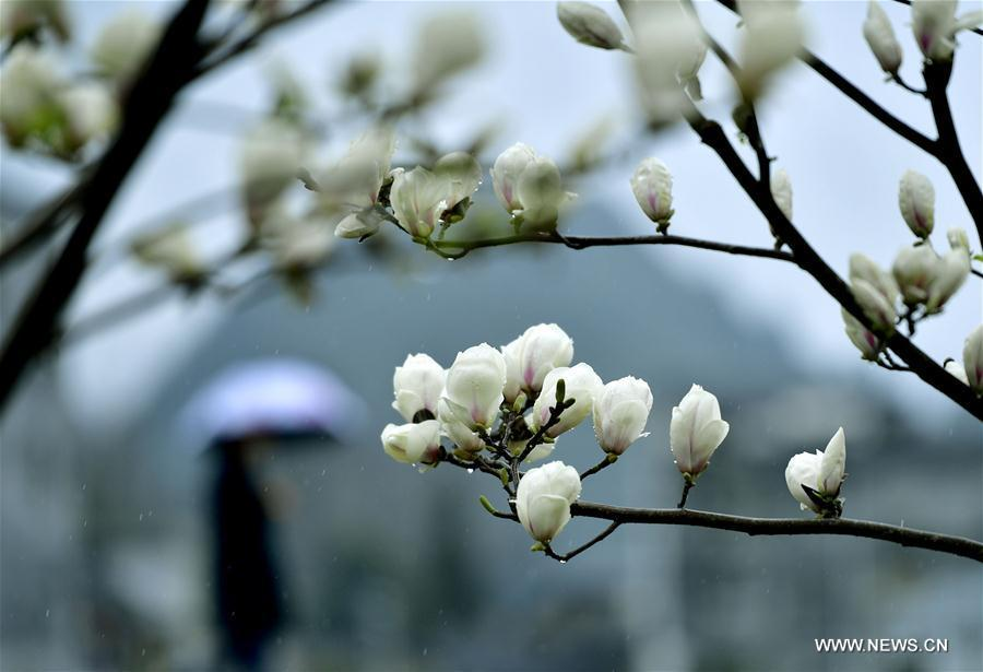 Spring view seen across china55 headlines features photo and magnolia flowers are seen in songping village of shadaogou township in xuanen county central chinas hubei province march 19 2018 xinhuasong wen mightylinksfo