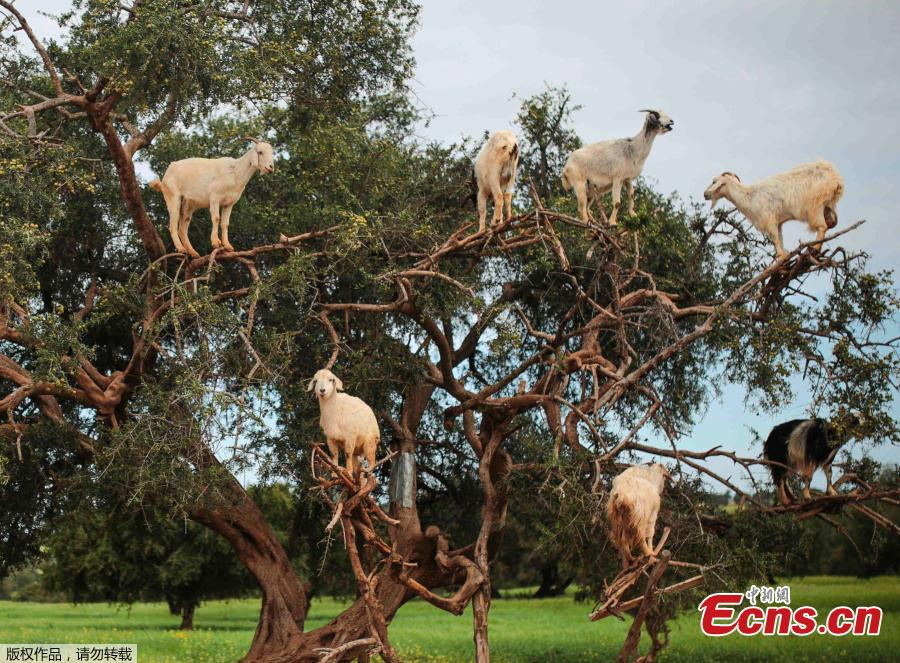 Tree Climbing Goats Help Produce Argan Oil In Morocco 1 3