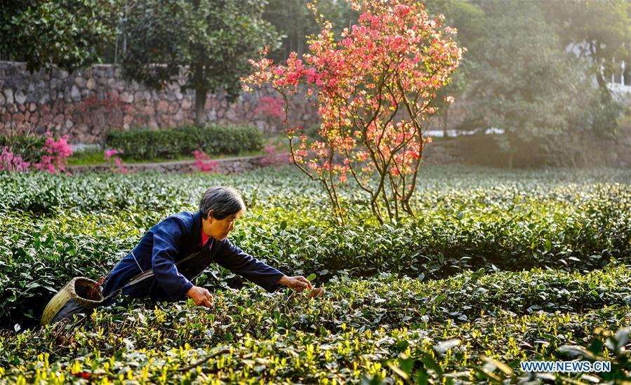A tea grower harvests spring tea among azalea blossoms in Shucha Township, Shucheng County of East China\'s Anhui Province, April 3, 2018. (Photo/Xinhua)