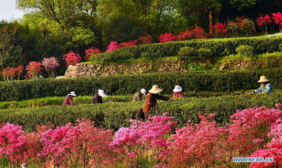 Tea growers harvest spring tea among azalea blossoms in Shucha Township, Shucheng County of East China\'s Anhui Province, April 3, 2018.  (Photo/Xinhua)