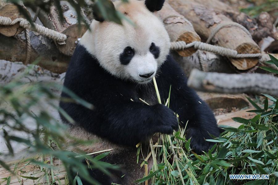 """大熊猫:将在贵阳进行为期三年的""""科学教育"""""""