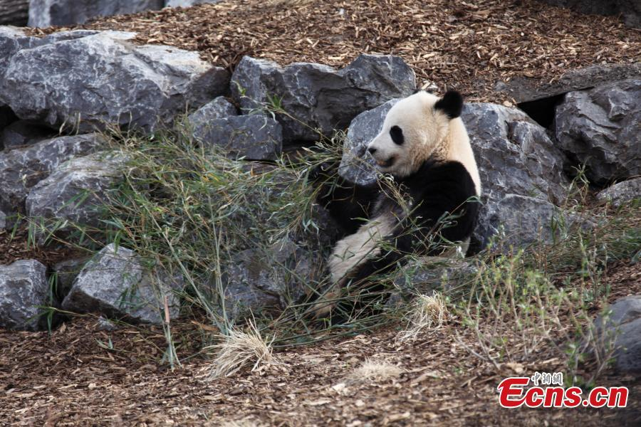 Calgary Zoo introduces giant panda family as exhibit opens its doors(2/8) & Calgary Zoo introduces giant panda family as exhibit opens its doors ...