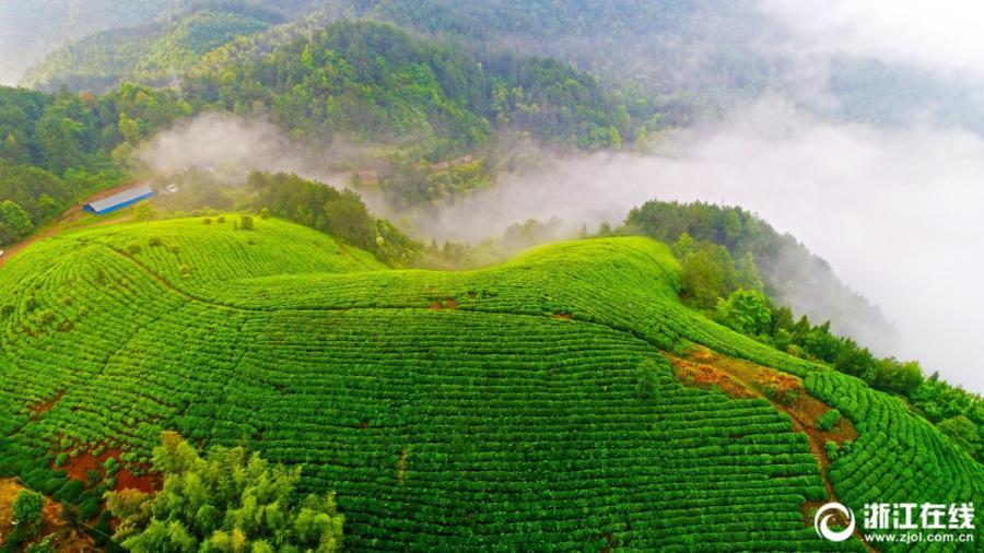 A sea of clouds washes over organic tea gardens in Zhejiang(1/4)