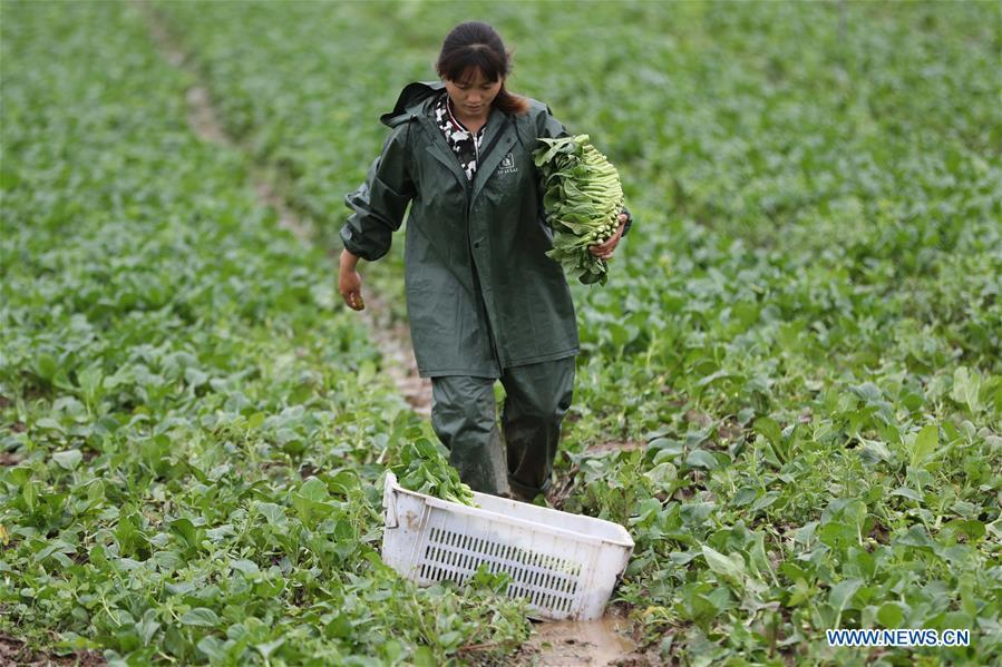 A farmer works in the field in the Fancheng District of Xiangyang City, central China\'s Hubei Province, May 21, 2018. (Xinhua/Yang Dong)
