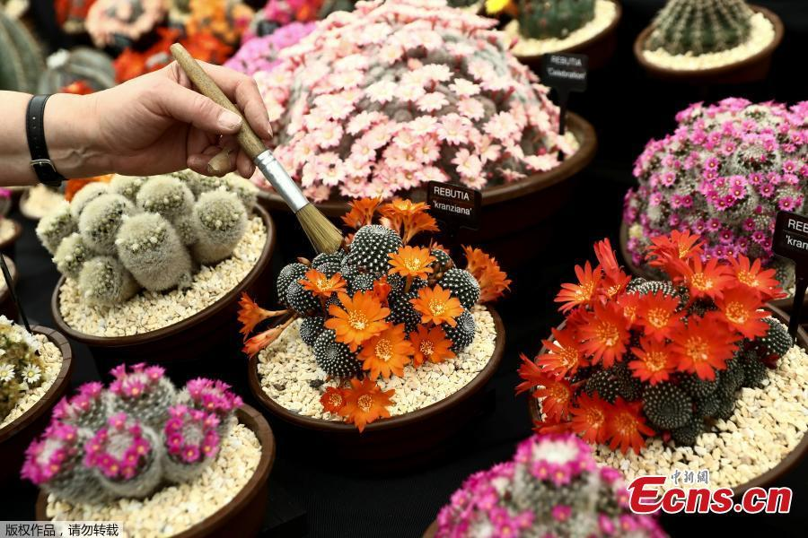Flowers are prepared for the Chelsea in Bloom floral art show on May 22, 2018 in London, England. This year is the 13th Chelsea in Bloom and the theme is \'Summer of Love\'. The annual competition has grown dramatically each year with Chelsea's best retailers, restaurants and hotels adorning themselves with creative designs to compete for the coveted awards. (Photo/Agencies)