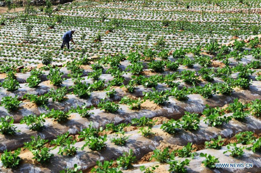 A farmer works in the field in Qilihe Village of Zaozhuang City, east China\'s Shandong Province, May 21, 2018. (Xinhua/Li Zongxian)