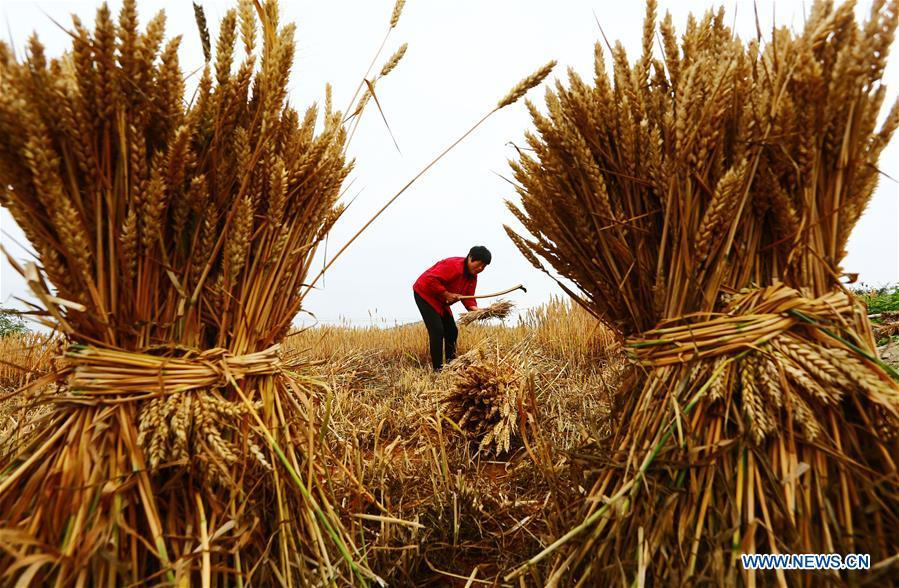A farmer harvests wheat in the field in Zaozhuang, east China\'s Shandong Province, May 21, 2018. (Xinhua/Zhang Qiang)