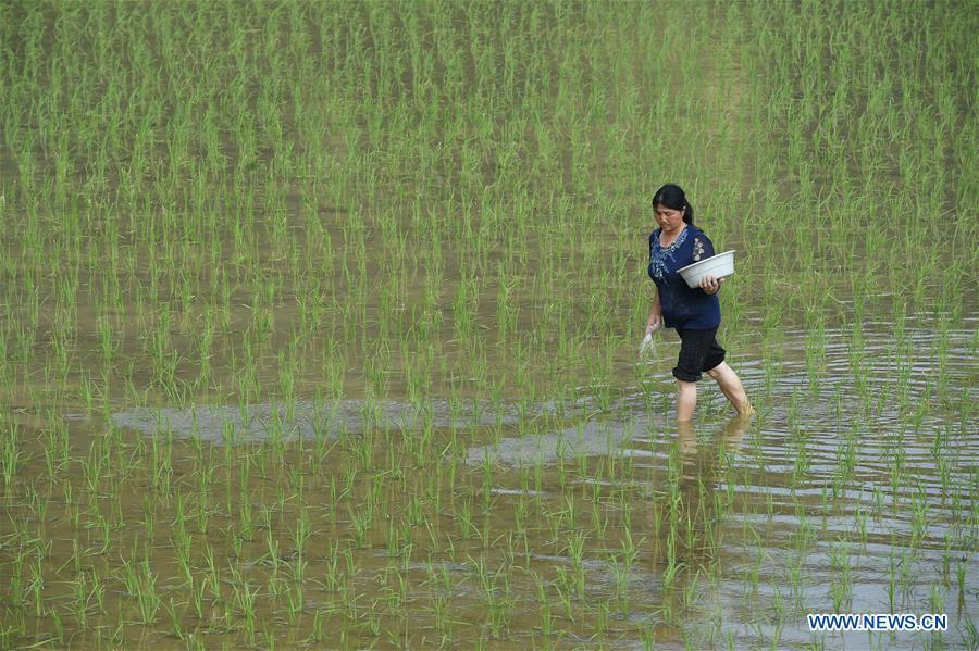 A farmer works in the field in Hongdu Village of Yuqing County, southwest China\'s Guizhou Province, May 21, 2018. (Xinhua/He Chunyu)