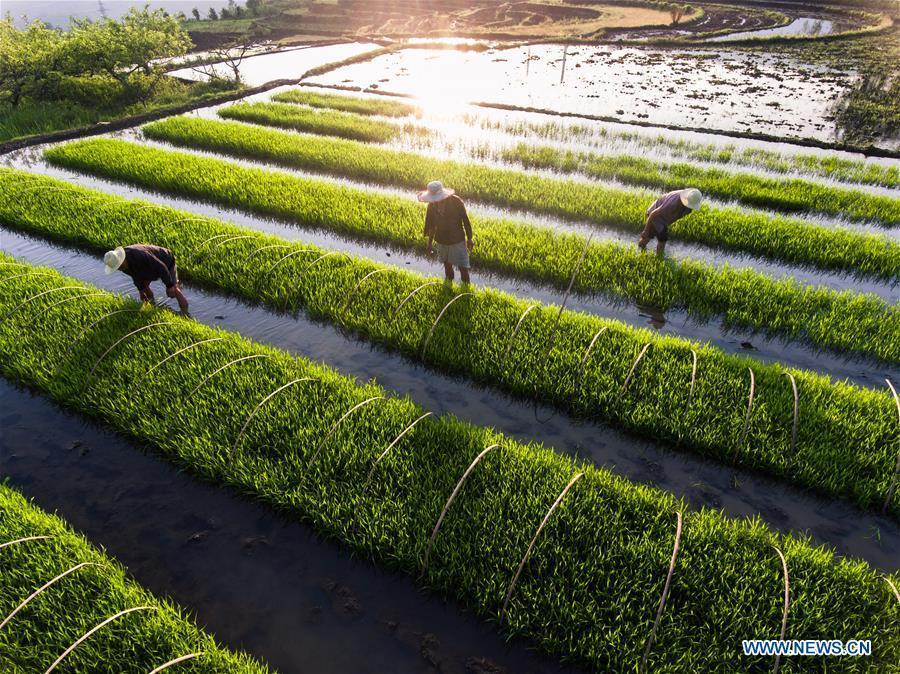 Farmers work in the fields in Jinxing Village of Dafang County, southwest China\'s Guizhou Province, May 21, 2018. (Xinhua/Luo Dafu)