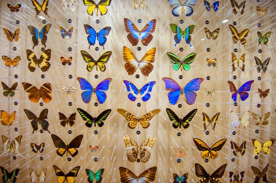 More than 400 butterfly specimens collected from around the world on display at the Chinese Luehdorfia Natural History Museum in Nanjing, Jiangsu Province on May 21, 2018. (Photo provided to chinadaily.com.cn)