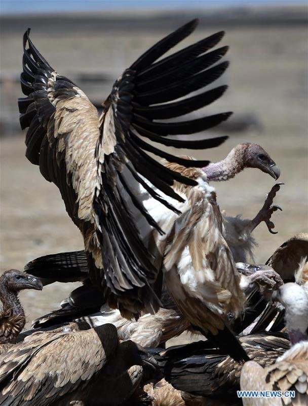 Photo taken on May 12, 2018 shows black vultures fighting for food in Damxung County, southwest China\'s Tibet Autonomous Region. (Xinhua/Chogo)