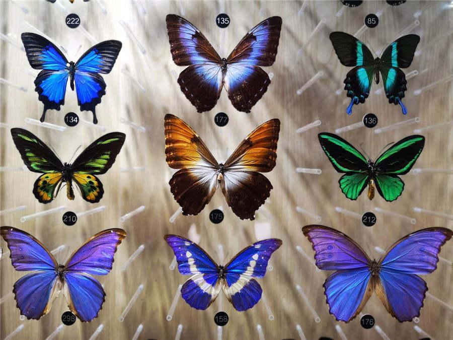 Specimens of different butterflies showcased at the museum. (Photo provided to chinadaily.com.cn)