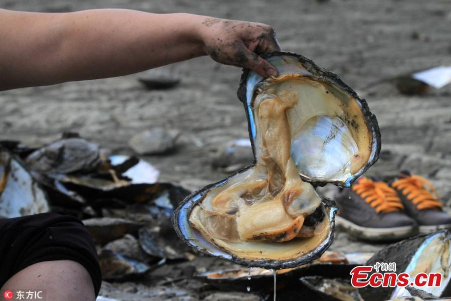 Clams are seen on a bank of the Songhua River in Harbin City, Northeast China's Heilongjiang Province, May 24, 2018. Many residents dug for clams on the riverside as water fell to its lowest point in 11 years. (Photo/IC)