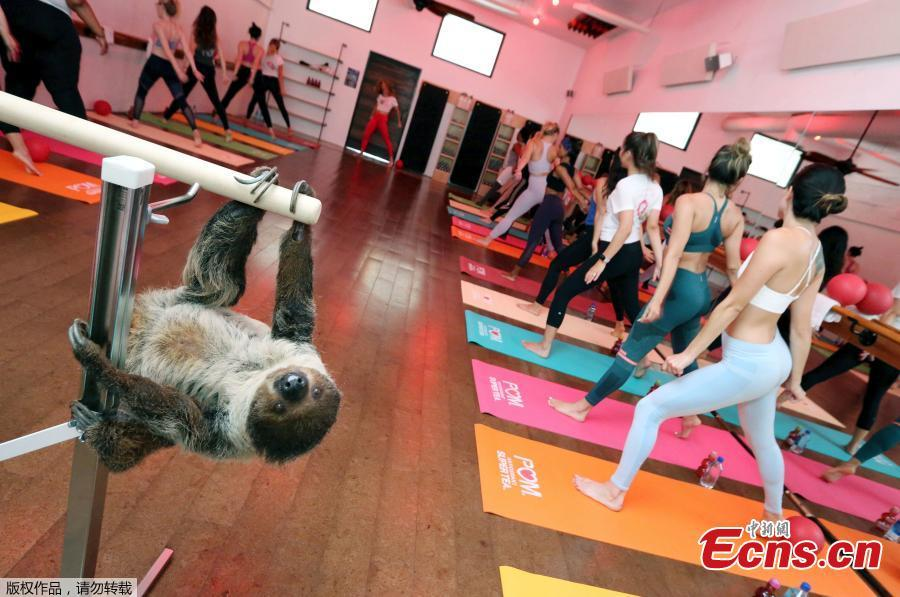 POM Wonderful Antioxidant Super Tea kicks off Memorial Day weekend hanging out with Lola the Sloth at the first-ever Sloth Barre class at Barre Belle on Thursday, May 24, 2018 in Los Angeles. (Photo/Agencies)