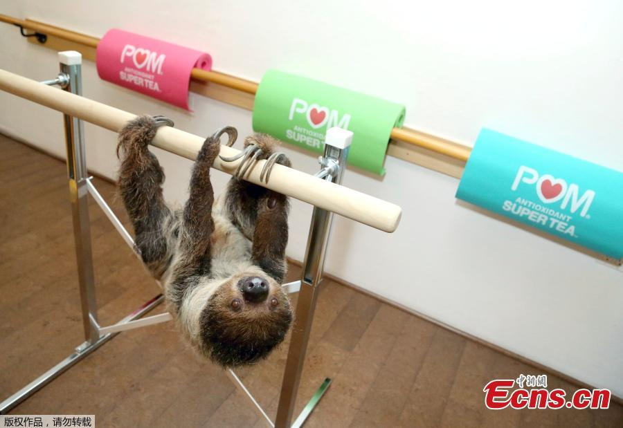 POM Wonderful Antioxidant Super Tea kicks off Memorial Day weekend hanging out with Lola the Sloth at the first-ever Sloth Barre class at Barre Belle on Thursday, May 24, 2018 in Los Angeles.(Photo/Agencies)
