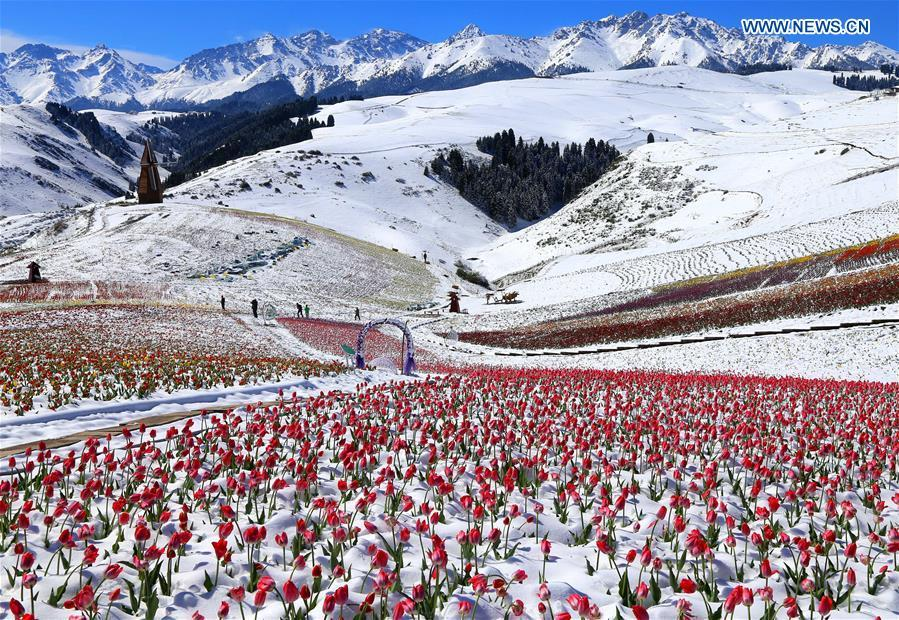 Photo taken on May 25, 2018 shows tulips in snow at the Jiangbulake scenery spot in Qitai County, northwest China\'s Xinjiang Uyghur Autonomous Region, May 25, 2018. A snowfall hit Qitai County on May 24. (Xinhua/Gao Jing)