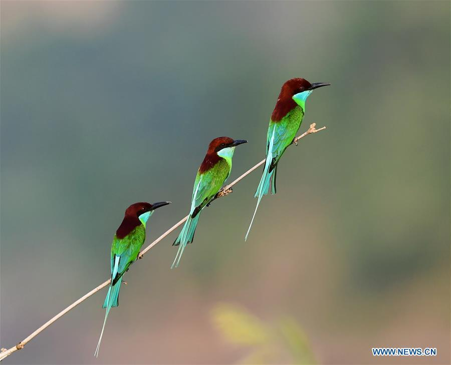 Blue-throated bee-eaters perch on a branch at Houlou Village, Yangzhong Town, Youxi County, southeast China\'s Fujian Province, May 25, 2018. (Xinhua/Mei Yongcun)
