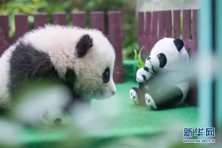 The four-month-old female giant panda cub, born to mother Liang Liang and father Xing Xing, on display to the public for the first time at the National Zoo in Kuala Lumpur, Malaysia, May 26, 2018. (Photo/Xinhua)