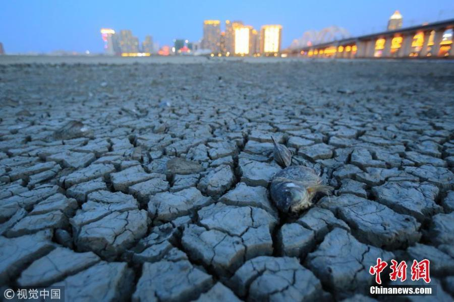 Picture taken on May 26, 2018 shows the dry bed of the Songhua River in Harbin City, Northeast China's Heilongjiang Province. Many boats are stranded and the river bank has also dried up. (Photo/VCG)