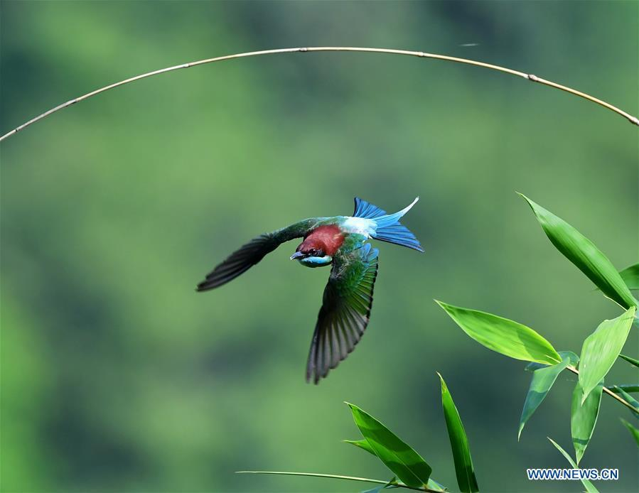A blue-throated bee-eater flies at Houlou Village, Yangzhong Town, Youxi County, southeast China\'s Fujian Province, May 25, 2018. (Xinhua/Mei Yongcun)