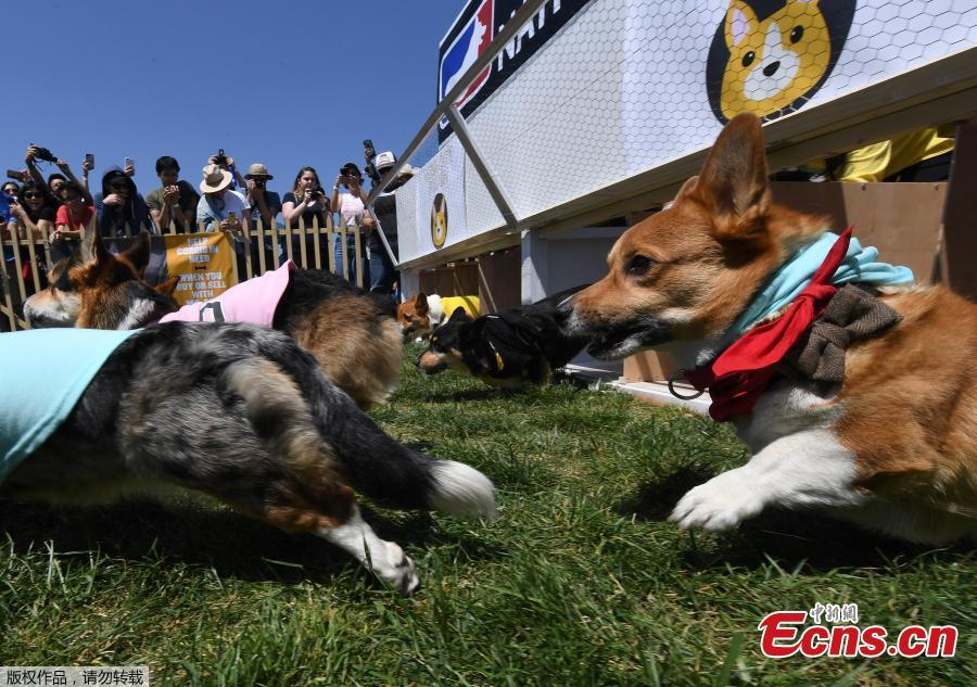 Corgi dogs race during the SoCal \
